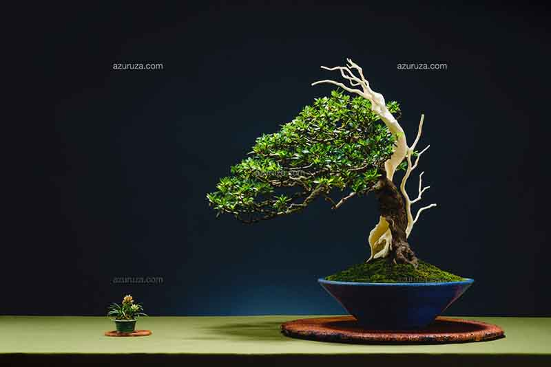 bonsai-saba-.jpg